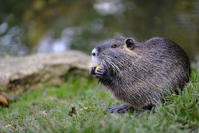 Beavers could be part of rewilding the UK