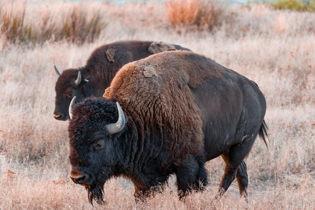 Bison in a field- could be part of rewilding the UK