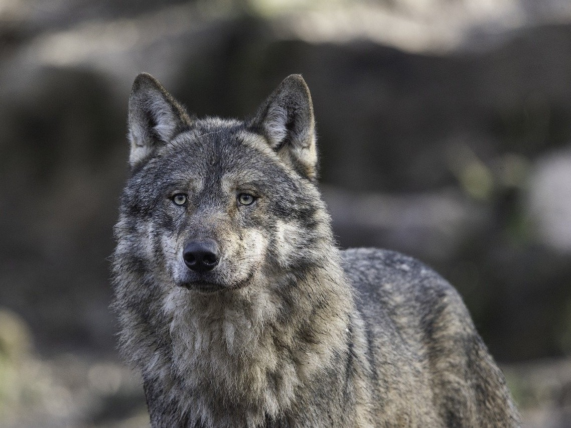 Close up of a gray wolf- essential in rewilding Yellowstone National Park