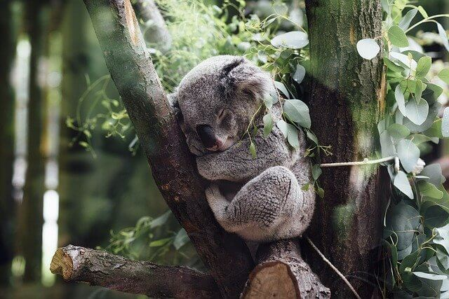 Koala in y shaped section of tree mimicked in wildlife bridge initiative