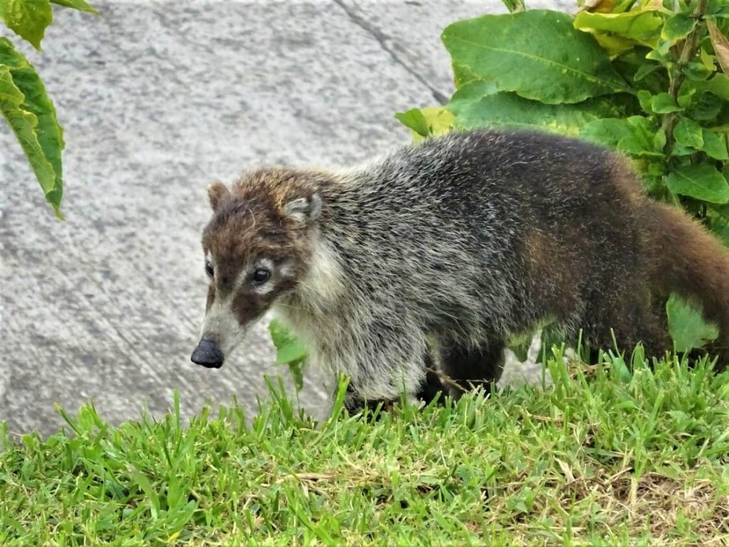 One Wild Thing Exotic Pet Trade Coati