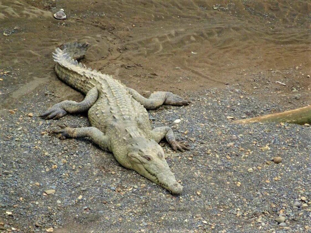 One Wild Thing Exotic Animal Crocodile