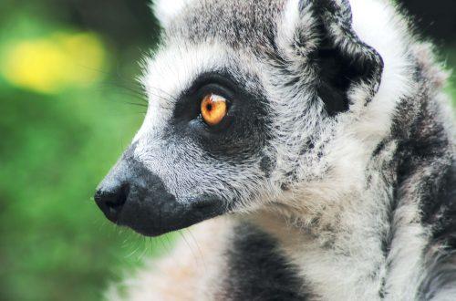 One Wild Thing Exotic Animal Lemur
