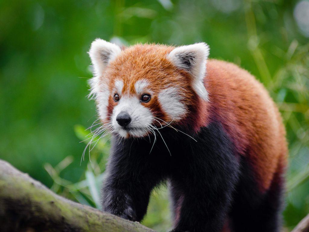 One Wild Thing Exotic Animal Red Panda