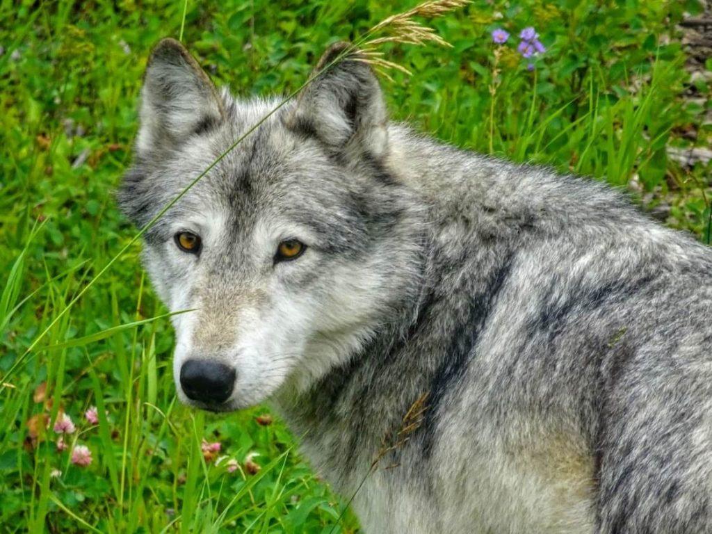 One Wild Thing Exotic Pet Trade Wolfdog
