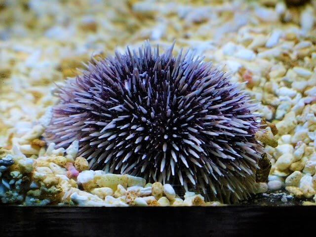 One Wild Thing Purple Urchin