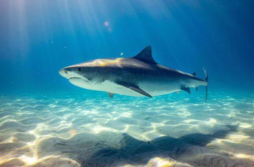 One Wild Thing Shark Swimming