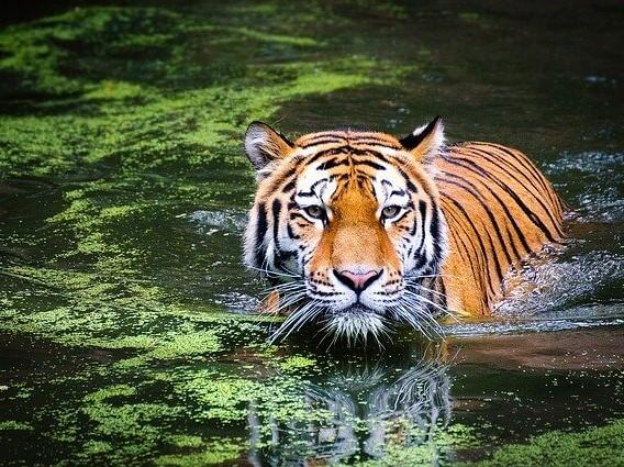 One Wild Thing Wildlife Trade Tiger
