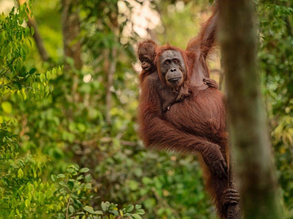 Orangutan with baby in tree