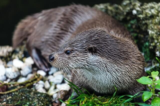 Otter close up