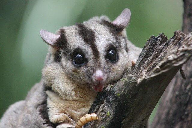 Squirrel glider which benefits from rope wildlife bridges
