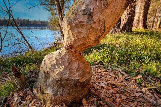 Tree felled by beaver