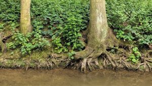 Tree roots hold soil together on a river bank- this was an essential factor in rewilding Yellowstone National Park.