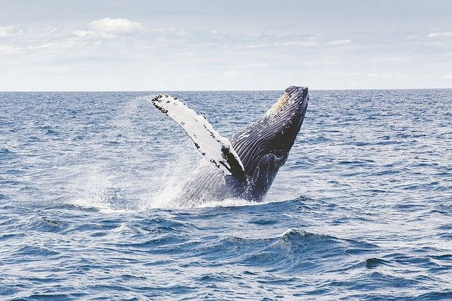 Whale breaching- whales could be part of rewilding the UK