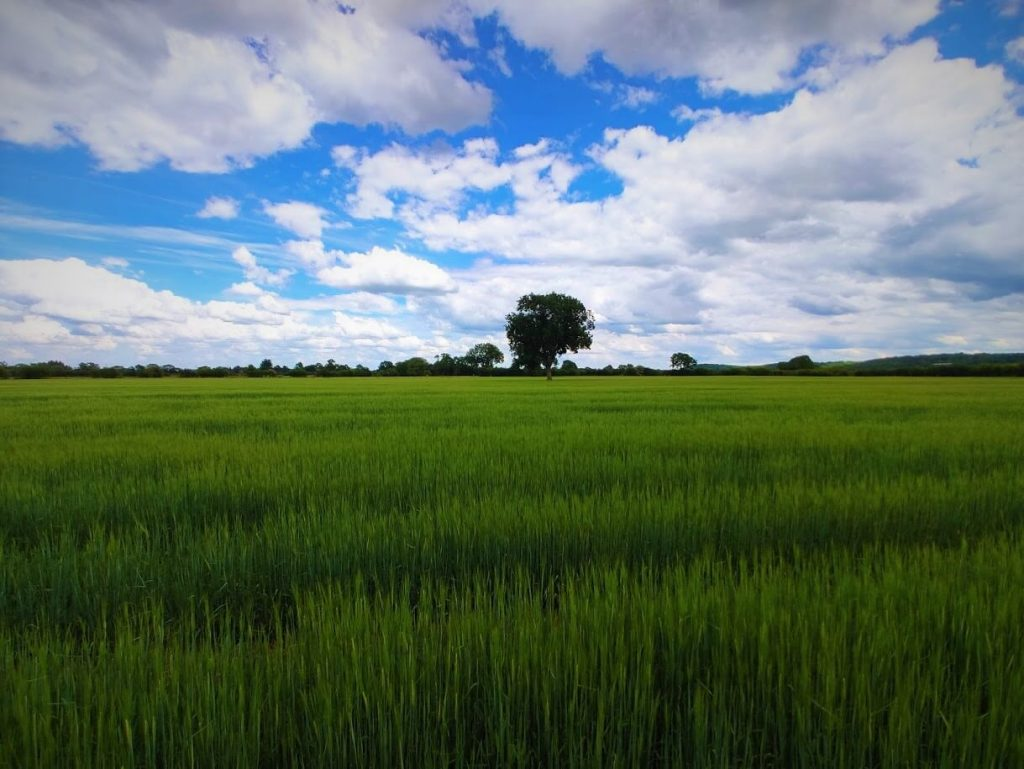 Britain needs nature to provide food like the wheat in this field.