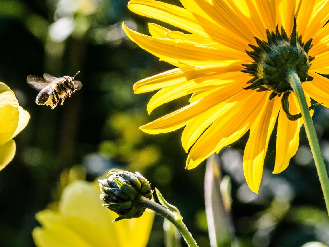 Bee polinates flower- an example of why Britain needs nature