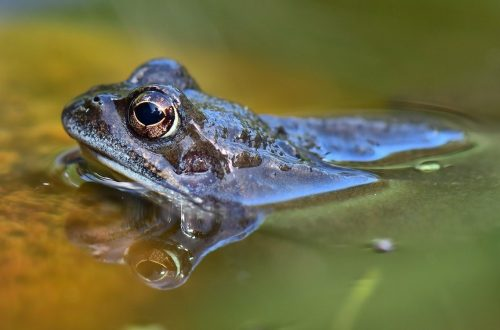 Common Frog in profile