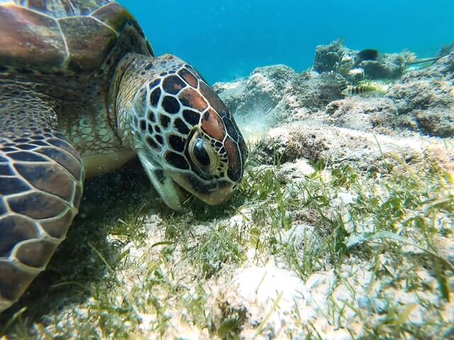 Turtles would suffer from loss of seagrass because they depend on it for food. This turtle is eating the seagrass.