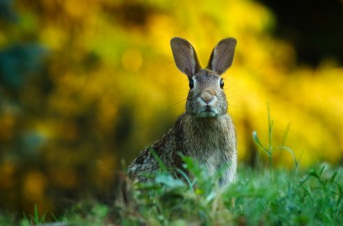 Rabbits invasive species