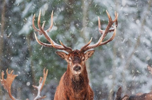 reindeer- Wildlife at Christmas