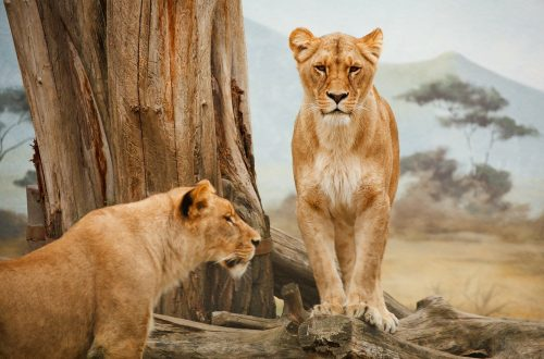Are safaris ethical? Lions